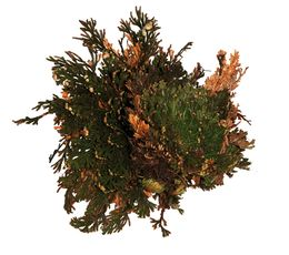 Lucky Reptile - Rose of Jericho