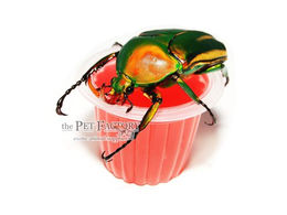 Beetle Jelly HP Sweet Cherry