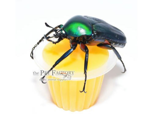 Beetle Jelly HP Mango