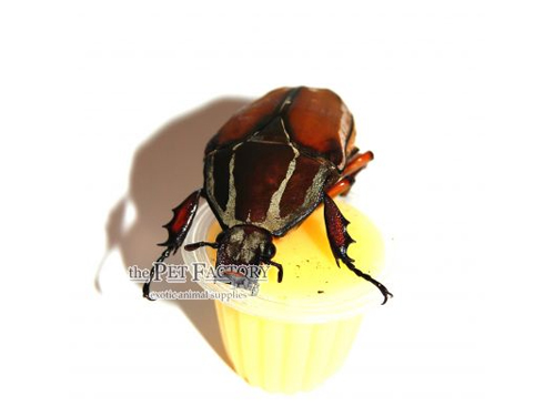 Beetle Jelly HP Banana