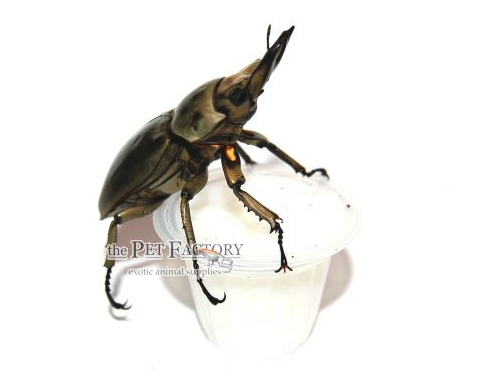 Beetle Jelly HP Lactic Acid